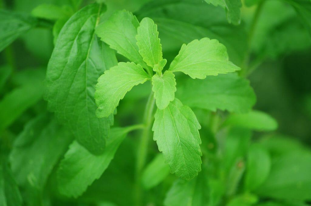 Stevia Zuckeralternative